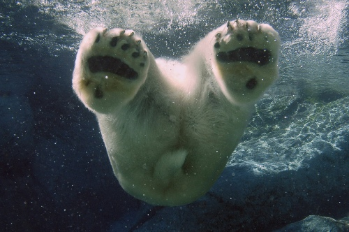 animal-picture-polar-bear-swimming-ucumari