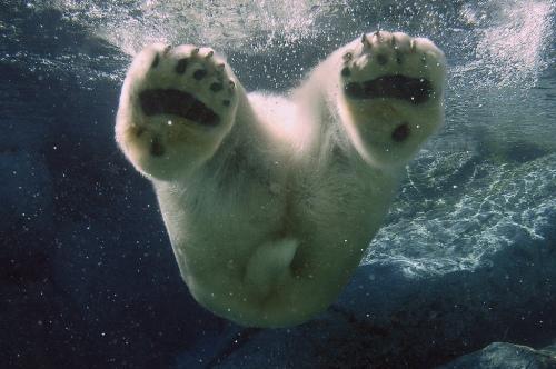animal-picture-polar-bear-swimming-ucumari