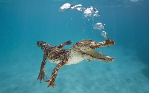 swimming-crocodile-animal-