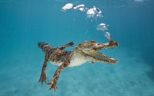 swimming-crocodile-animal-