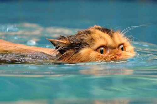 swimming_cats_are_640_04